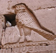 Birds of a feather: a sparrow finds solace in a hole in the temple's stone wall, on the bosom of the Horus falcon, as it were. Lagide dynasty. Ptolemaic Temple of  Horus at Behdet (Edfu). Egypt.