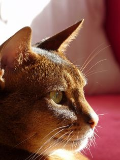 Abyssinians have the most beautiful profiles.