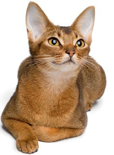 Gorgeous usual (ruddy) Abyssinian Looks like Vicktorya Stone's Lucy Dawn.