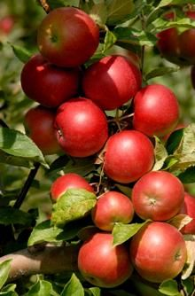 Anna Southern Apple Tree | A great variety for Southern California because of the low-chill hours.