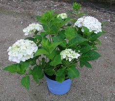 Hydrangea macrophylla 'Endless Summer' hvid (The Bride) (Hortensia) H: 20-50 cm.
