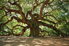 Angel Oak  Located on Johns Island just outside of Charleston, SC. Angel oak is believed to be around 1500 years old. Making it the oldest living thing east of the Rocky Mountains. It stands 65 feet tall and has a circumference of almost 30 feet. The physical size of the tree is just incredible. Its canopy covers an area roughly 1/3 the size of a football field.