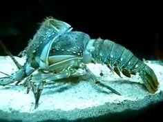 Ternyata lobster ganti cangkang..... ada yang pernah lihat...?? #indonesia #guyonan #ngakak #kocak #humor #tari #komedi #lobster #musik #keren #trending #viral #clip #video #gantikulit #tiktok #heboh #dagelan #indo #ngakak #berita #info #korea #keren #lucu #unik #fun #funny #china #sehat