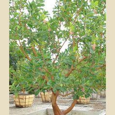 Arbutus 'Marina' - Multi Trunk - Forms We Grow - Boething Treeland Farms. Great for climbing