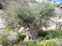 2,000 year old olive tree