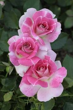 Image via Pink Rose Image via I love roses as they remind me of time spent with my grandmother in her garden. She always had the most beautiful roses that drew in the bees for the gardens All Flowers, Exotic Flowers, Amazing Flowers, Beautiful Roses, Beautiful Flowers, Rose Fotografie, Rosa Rose, Hybrid Tea Roses, Flower Pictures