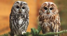 QUICK CHANGE ARTISTS Some animals are managing to respond to climate change. In Finland, the ratio of gray and reddish-brown tawny owls, like these two rescued in the Czech Republic, has changed as winters have warmed. ~~ Libor Šejna, www.makov.cz