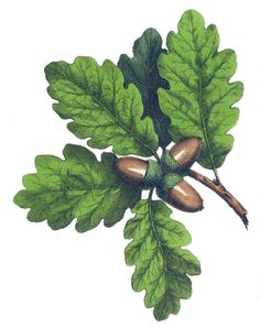 Vintage color drawing of an oak tree branch and acorns. Reusable Art - Great site for available art images.