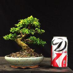 Kingsville boxwood in Nick Lenz pot. Stunning@combo if I do say so myself. #bonsai #bonsaishinseiny #boxwood #forsale #kingsville #old #nicklenz #shohin