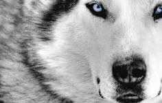 WOLF WALLPAPER FOR PHONE