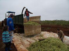A silagem é o método de conservação de forragem, baseado na fermentação láctica, da matéria vegetal.