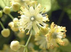 """flor del Tilo, árbol de la familia de las malváceas: """" amor conyugal"""""""