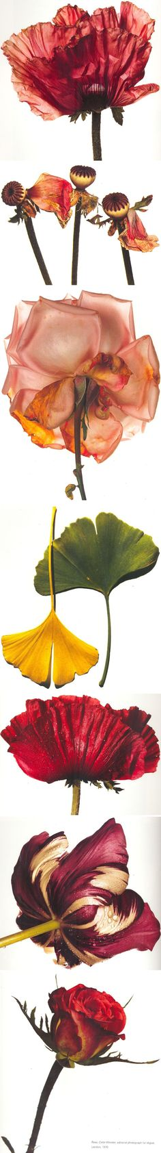 .. Irving Penn ..i La la la LOVE doing this to any flowers i recieve from my bf to conserve it in an artisic way (: