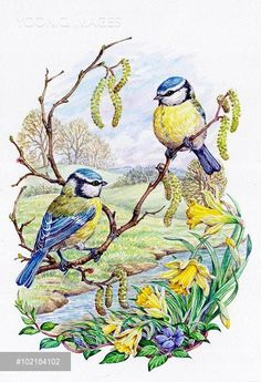 Yooniq images - Two Blue Tits with Daffodils and Catkins by a Stream Vogel Illustration, Watercolor Illustration, Decoupage Art, Decoupage Vintage, Bird Pictures, Pictures To Paint, Painting Pictures, Spring Birds, Bird Artwork