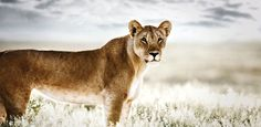 Lioness captured in beautiful light as a real portrait of the Pride of Africa Collection. Beautiful light artwork with a modern feel for it. Available on Saatchi Art. Wildlife Photography, Fine Art Photography, African Image, My Land, Beautiful Lights, Fine Art Gallery, Cape Town, Beautiful World, Art Images