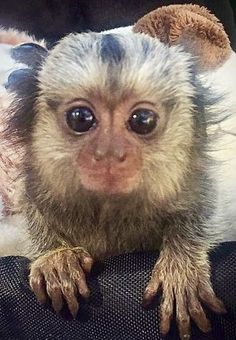 241 Best Finger monkey! images in 2018 | Funny Animals, Marmoset