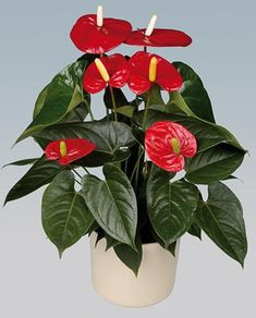 Anthurium - possible flower to go on some tables to add colour and tie in with the Pilot red? Might be too large for tables? Potted Plants, Indoor Plants, Plant Companies, Cut Flowers, Gerbera, Houseplants, Plant Hanger, Container Gardening, Flower Art