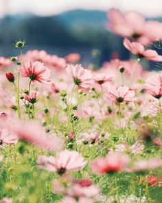 Ideas For Wall Paper Flores Iphone Pink Flowers Nature Cosmos Flowers, Pink Flowers, Beautiful Flowers, Field Of Flowers, Valley Flowers, Pink Petals, Happy Flowers, Simple Flowers, Simply Beautiful