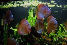 discus fish  | Yakuter, Discus Tükiye Kulübünün kuruluş dilekçesini de yarın ... Big Aquarium, Discus Aquarium, Discus Fish, Freshwater Aquarium, Aquariums, Discus Tank, Fish Tank, Colorful Fish, Tropical Fish