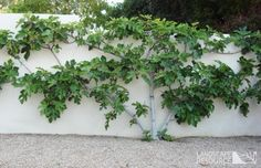 Backyard Garden Vegetable Espalier Fig Tree: maybe a better choice for a fruit tree, as it does prefer some shade. Landscape Trees, Plants, Low Water Gardening, Growing Plants, Fruit Trees, Espalier Fruit Trees, Garden Shrubs, Rock Garden Landscaping, Backyard