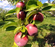 Apple tree seeds,Malus pumila (Cider Varieites) - Execelent fresh,Cider, soft drinks, juice, and vinegars - Hardy to zone 3