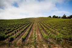 La Colline Vineyard at Laetitia Vineyard & Winery.
