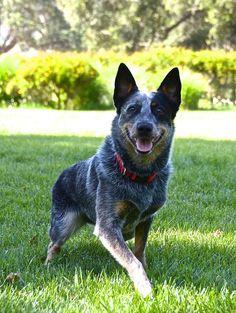 The Australian Cattle Dog, is a breed of herding dog originally developed in Australia for driving cattle over long distances across rough terrain.