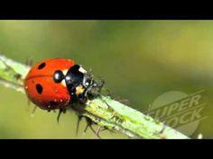 Life Cycle of a Ladybug Video