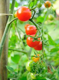 Then 10 Most Common Tomato Problems and How to Prevent Them