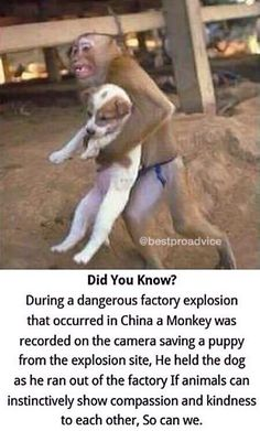During a factory explosion in China a monkey was recorded on camera saving a puppy from the the explosion site.He held the dog as he ran out of the factory.If animals can instinctively show compassion and kindness to each other,So can we...