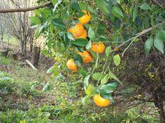 A bergamota, também conhecida como tangerina ou mexerica, é uma fruta cítrica de sabor adocicado. É uma antiga espécie selvagem, nativa da Ásia.