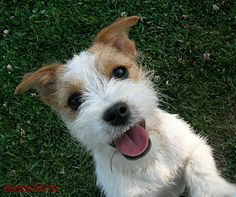 It is about dogs: Is the Jack Russell Terrier the right dog for you? You look like my Charlie!