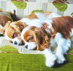Cavalier nap time...