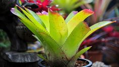 How to re-pot bromeliads - Better Homes and Gardens - Yahoo!7