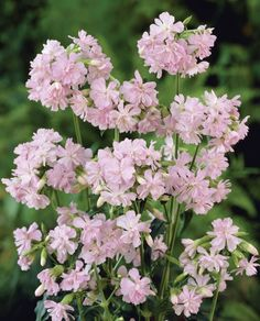 Rare, unusual, exciting plants delivered straight to your door with our No Quibble Guarantee. Cottage Garden Plants, Cottage Gardens, Garden Levels, Plants Delivered, Garden Stairs, English Country Gardens, Herbaceous Perennials, Plants Online, Plant Design