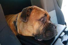 Buster, a bull mastiff from Easley, South Carolina