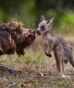 A German Pointer named Rex discovered a joey in the pouch of a kangaroo that was hit and killed by a... - Mom.me