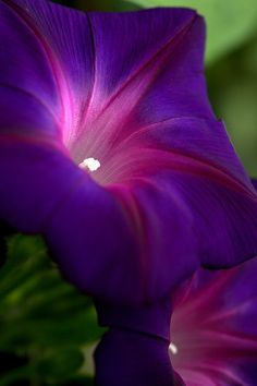 In honor of my cousin, Sharon Green Kaake, the best morning glory grower EVER!  I love and miss you!~~A Glow From Within by rpluo~~