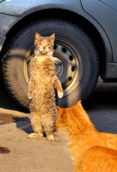 (Orange cat)what are you doing (brownish cat) trying to fit in (orange cat)were not humans