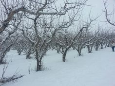 "My novel ""Promise"" lands in a place I call Katonkah Country -- a desert valley with expanses of orchards ... How well I remember apple orchards in a Yakima winter"