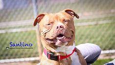 Lake Odessa Mi American Bulldog Meet Santino A Dog For Adoption American Bulldog Lake Odessa American Bulldog Mix