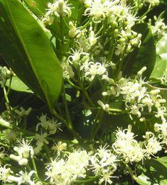 Flowers and fruits of Australian native Lemon Aspen
