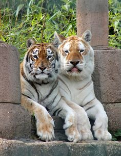 The animals look like what's called Iigers, lions and tigers bred together. Wow Are they beautiful!