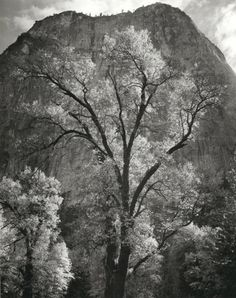 "wetreesinart: "" Ansel Adams (American, 1902-1984), Autumn Tree Against Cathedral Rocks, Yosemite, 1944, gelatin silver print """