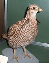 The Heath Hen (Tympanuchus cupido cupido) was a distinctive subspecies of the Greater Prairie Chicken, Tympanuchus cupido, a large North American bird in the grouse family, or possibly a distinct species, that became extinct in 1932.