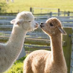 The alpaca farm that has got the craft world hooked Alpaca Vs Llama, Cute Alpaca, Cute Creatures, Beautiful Creatures, Animals Beautiful, Super Cute Animals, Cute Little Animals, Alpacas, Young Animal