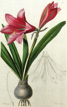Amaryllis reginae. Tab. 42. Trattinnick, Leopold: Thesaurus botanicus. Wien 1819.
