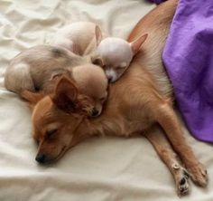 Sleeping Chihuahua mom and babies image via www.Facebook.com/CuteChihuahuaFans
