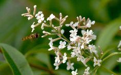 Zitronenverbene (Pflanze) - Aloysia triphylla |    Verbene & Eisenkraut |   Udo-Vernonia |   Pflanzen & Saatgut | Rühlemann's Kräuter und Duftpflanzen