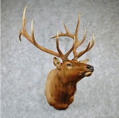 Rocky Mountain Elk Shoulder Taxidermy Head Mount For Sale @ The Taxidermy Store Elk Pictures, Elk Head, Taxidermy For Sale, Decimal, Rocky Mountains, Antlers, Wolves, Deer, Moose Art